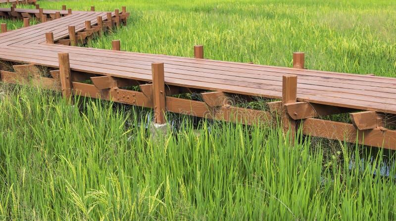 Paddy field. Wooden walkway across golden paddy field royalty free stock photo