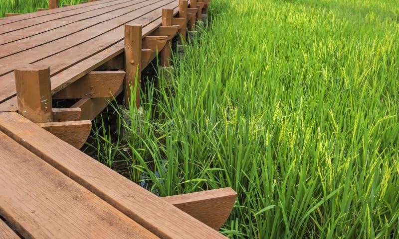 Paddy field. Wooden walkway across golden paddy field stock image