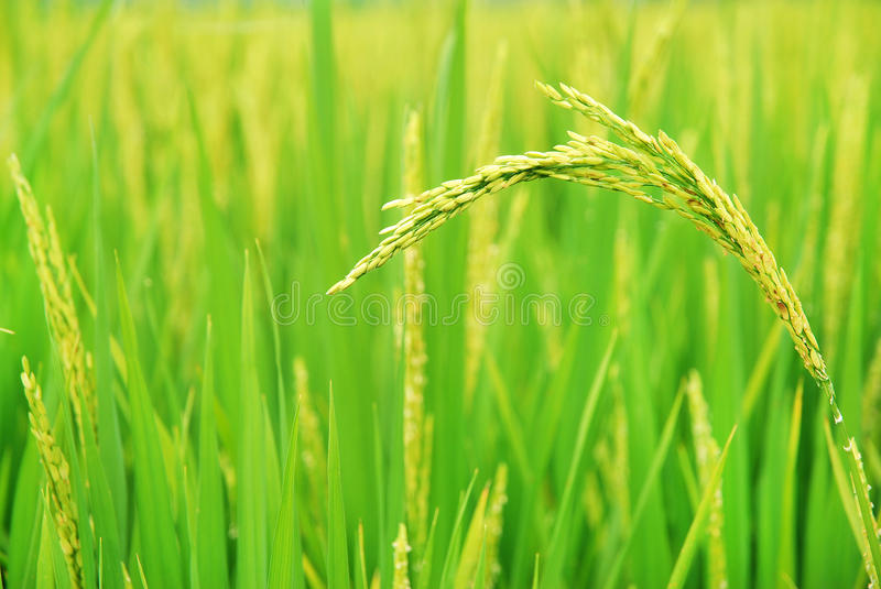 Paddy fields. In the summer royalty free stock image