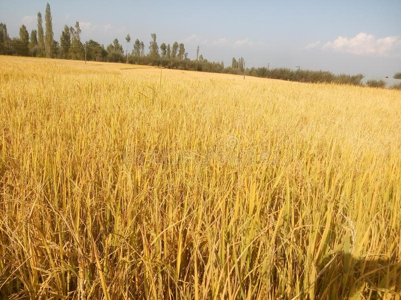 Golden paddy. A golden paddy field in Kashmir, Asia royalty free stock images