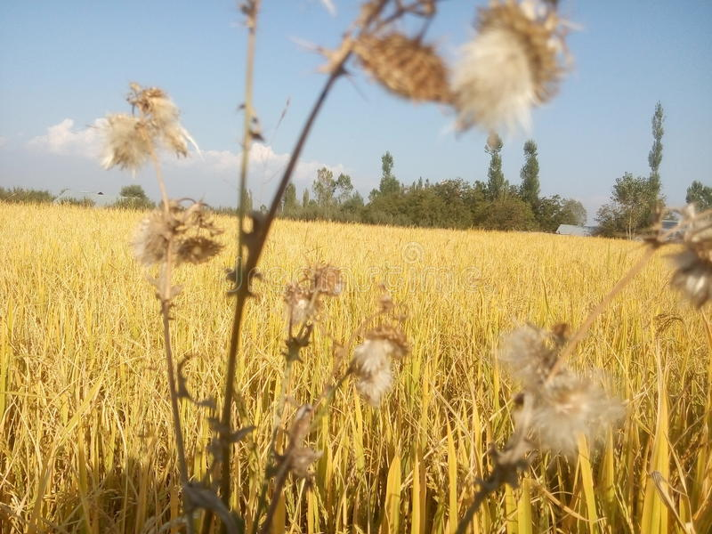 Paddy field with weeds. A golden paddy field with weeds in Kashmir royalty free stock photos