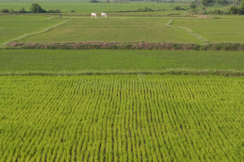 Paddy fields India stock images