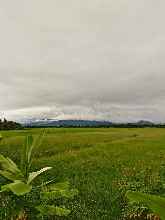 paddy fields stock photos
