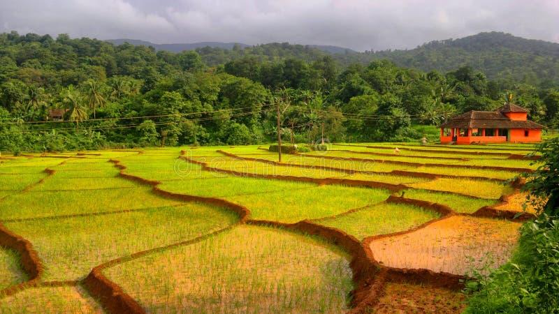 Paddy filed in Canacona Goa India royalty free stock photography
