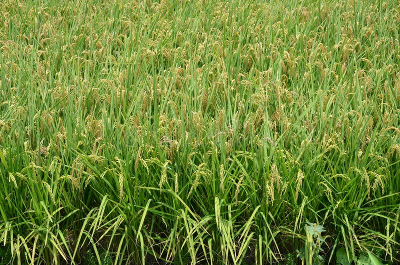 Paddy Filed. A paddy field is a flooded parcel of arable land used for growing semiaquatic rice. Paddy cultivation should not be confused with cultivation of stock images