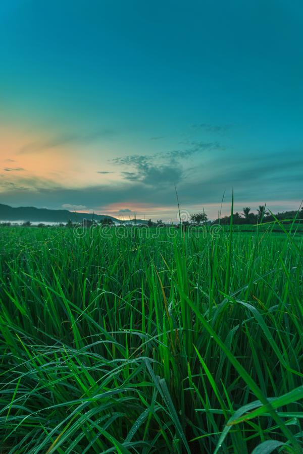 Paddy Grass And Beautiful Sky royalty free stock image