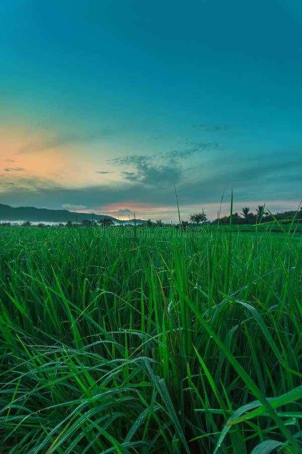 Paddy Grass And Beautiful Sky royaltyfri bild