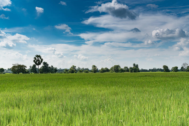 Paddy jasmine rice field with blue sky royalty free stock images