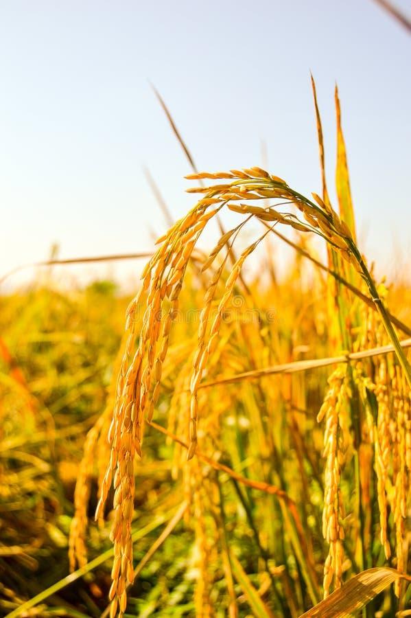 Paddy jaune aux terres cultivables images libres de droits