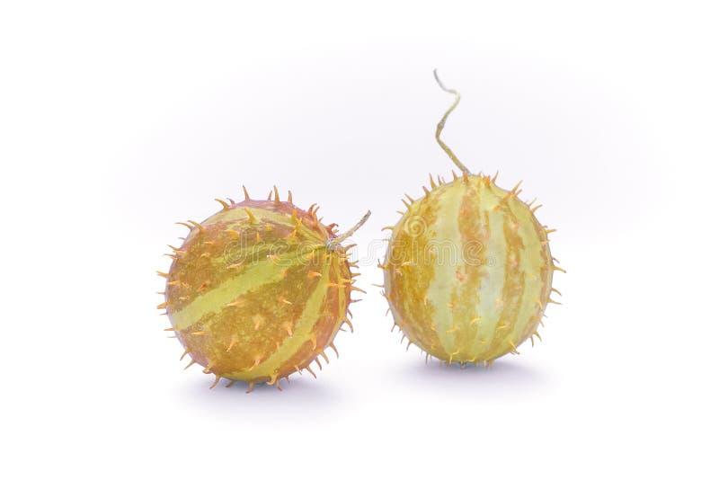 Paddy melon Cucumis myriocarpus, wild spiny cucumber, exotic o stock photography