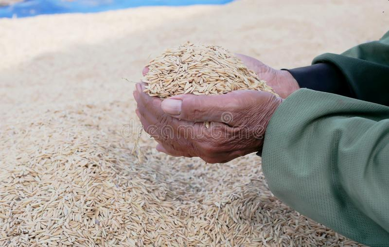 Paddy in old women hands. With blurred background stock photography