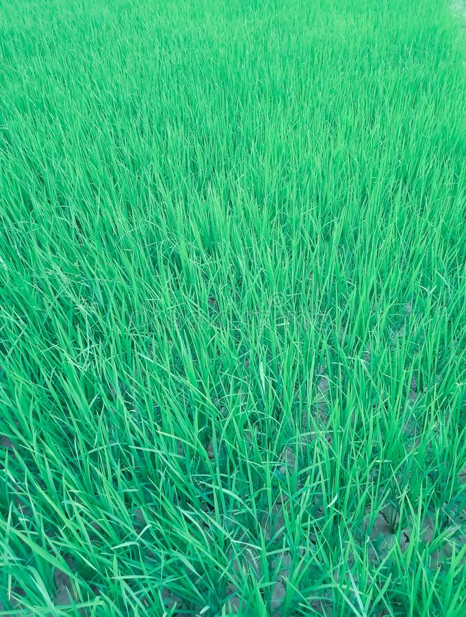 Paddy plant in the agriculture farm. The photography of paddy plant agriculture farm stock photo