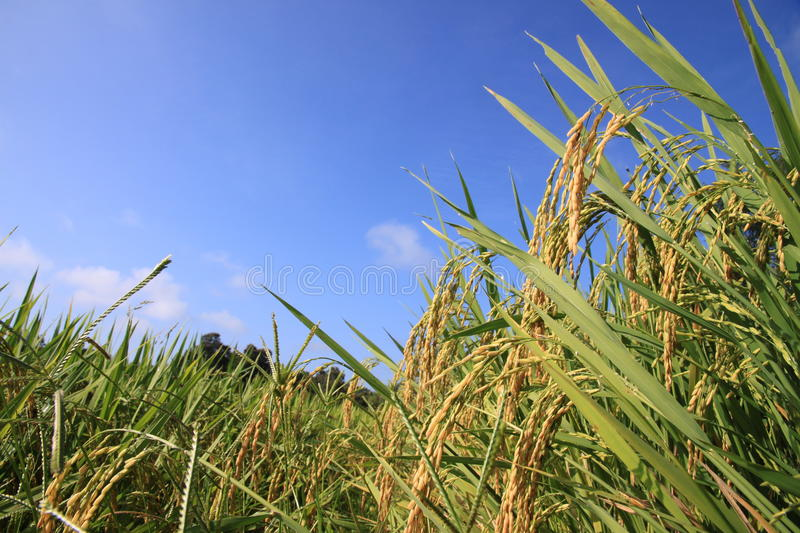 Paddy Rice foto de stock royalty free