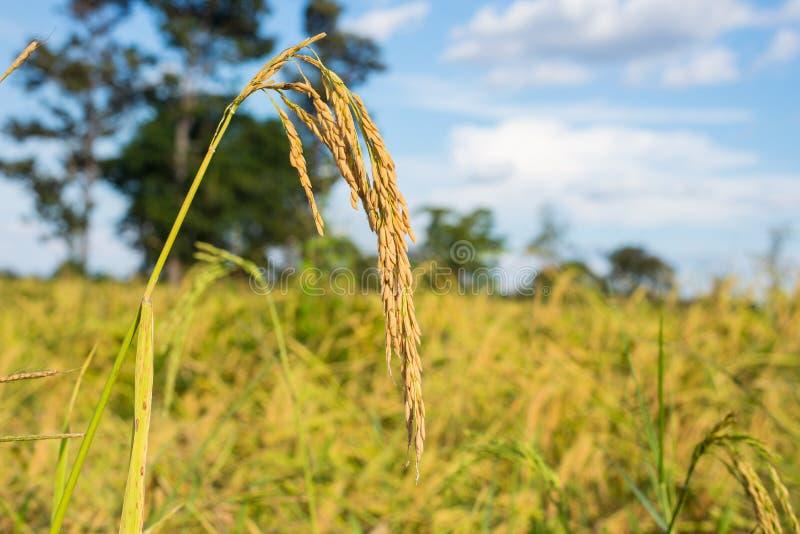 Paddy Rice arkivfoton