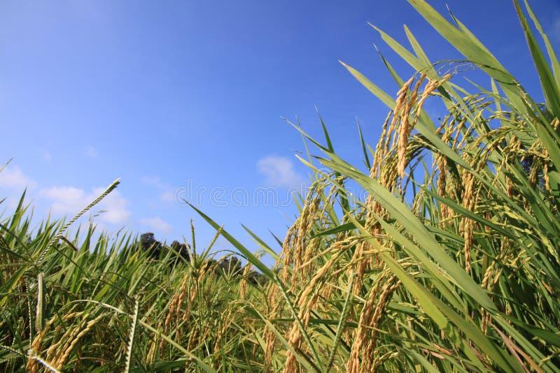 Paddy rice royalty free stock photo