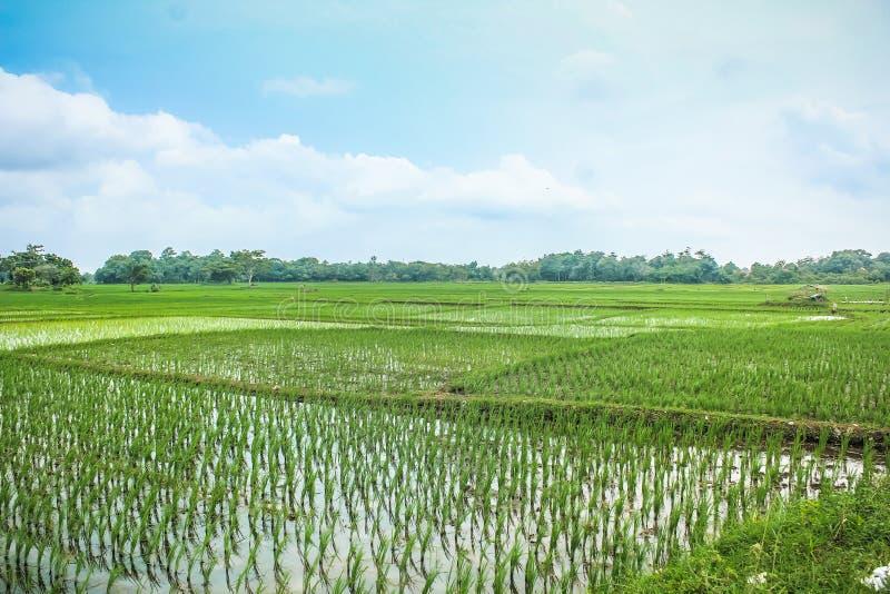 Paddy Rice fält arkivfoto