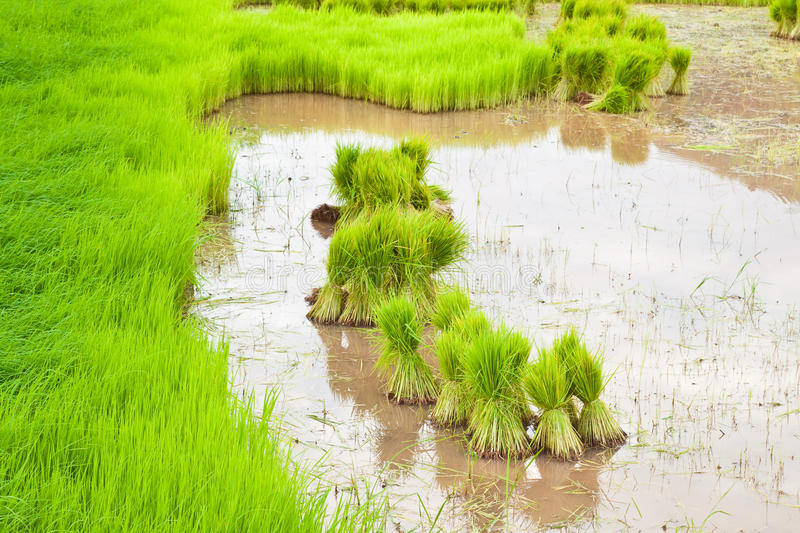 Download Paddy rice in field stock photo. Image of natural, farmland - 20987214