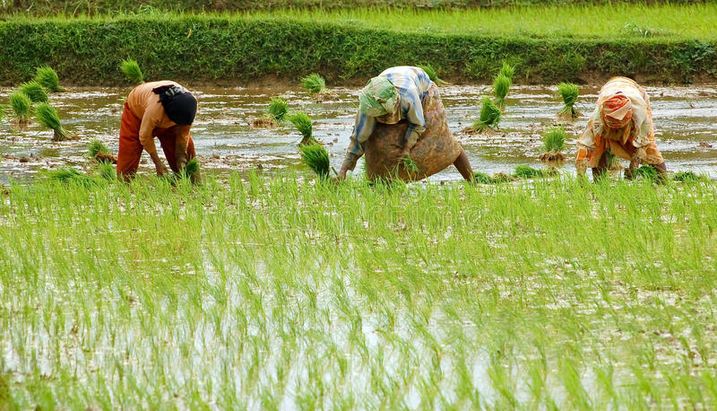 Download Paddy rice field stock image. Image of food, people, harvest - 23232417