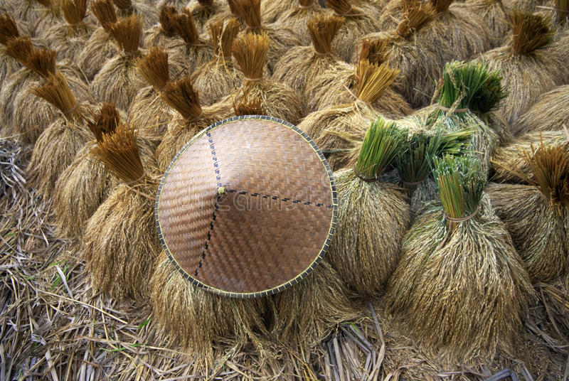Paddy rice in field stock photography