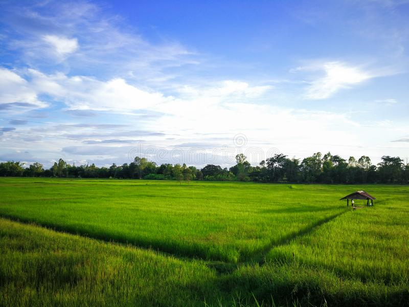 Paddy rice field green grass and high voltage cables on green background royalty free stock image