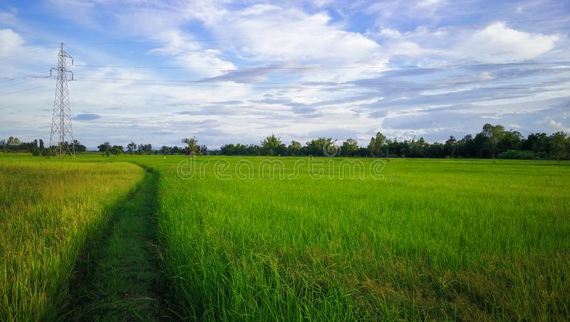 Paddy rice field green grass and high voltage tower on green background royalty free stock photography