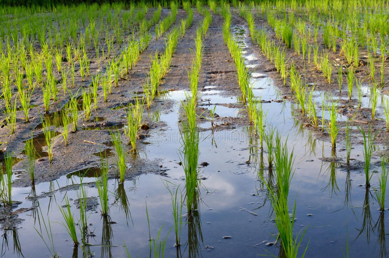 Paddy rice in field royalty free stock photography