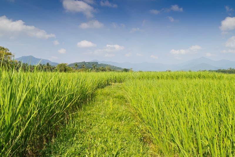 Paddy Rice Fields stockfotos