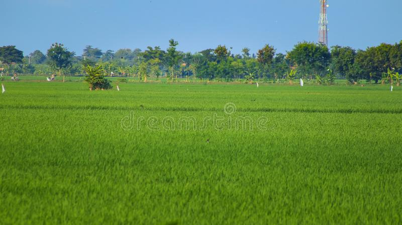 Paddy Rice Fields stockbild