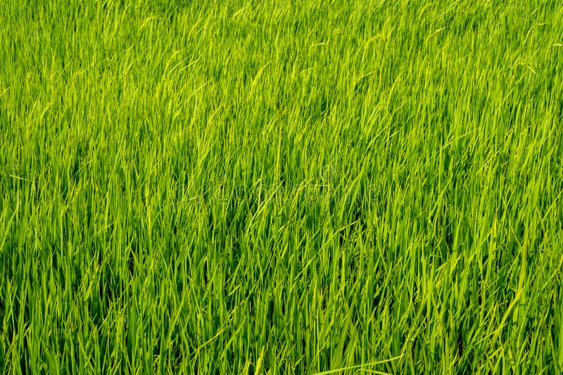 Paddy Rice Fields immagini stock