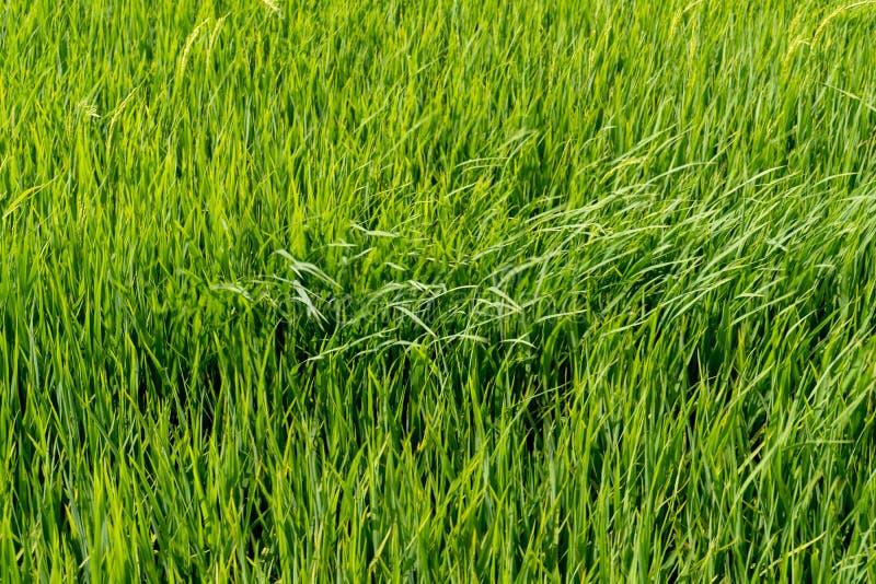 Paddy Rice Fields lizenzfreies stockfoto