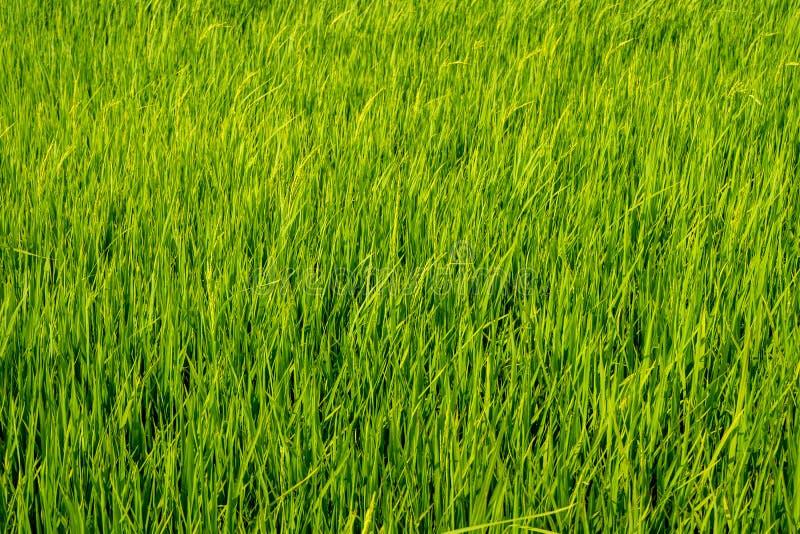 Paddy Rice Fields stockbilder