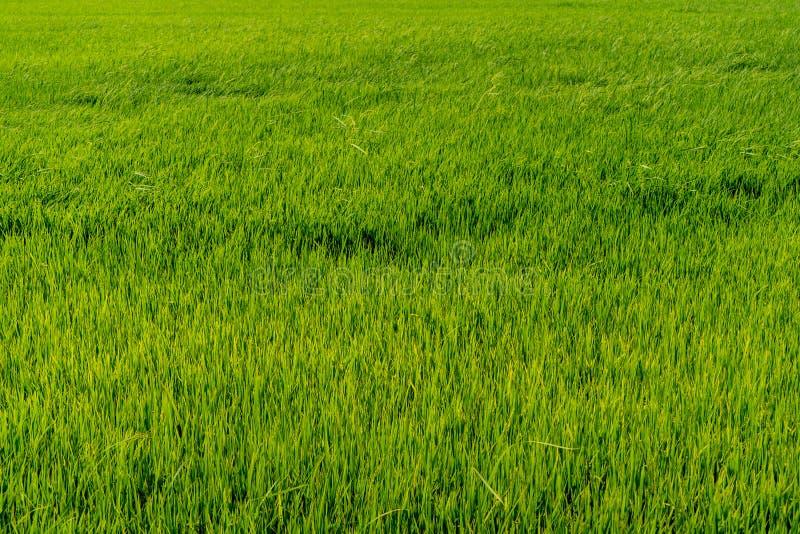 Paddy Rice Fields stockfotografie