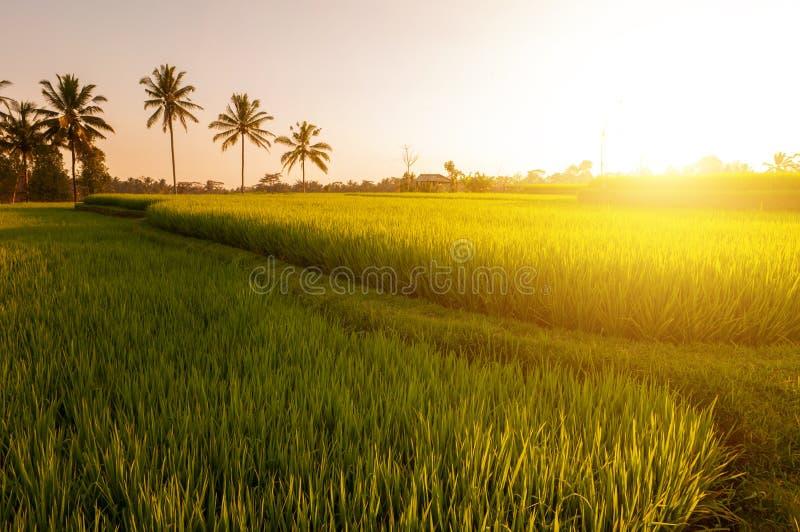Paddy Rice Fields arkivbild