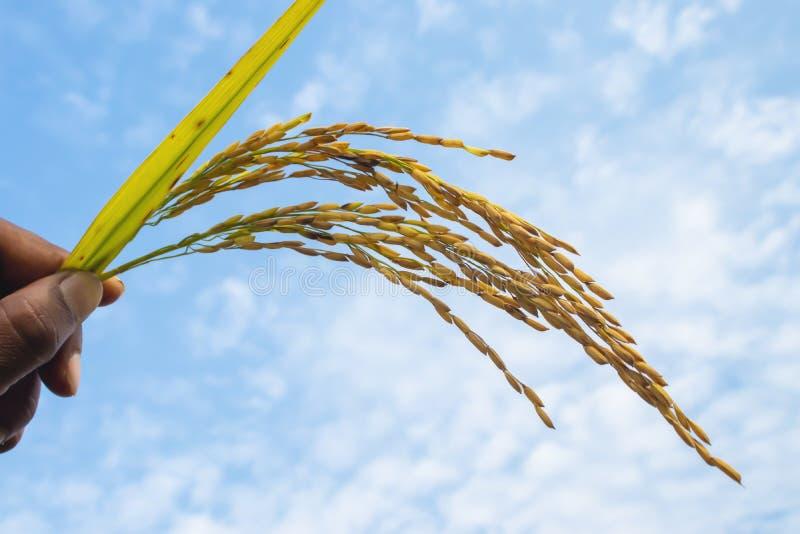 Paddy rice grain. stock photography