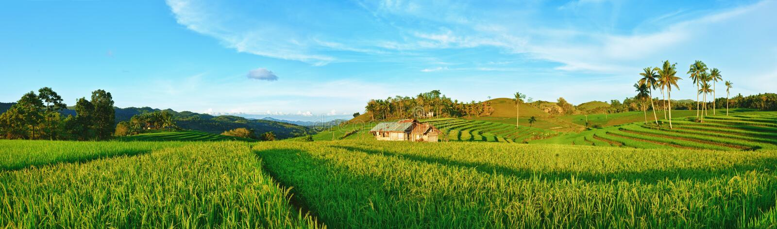 Download Paddy rice panorama stock image. Image of agriculture - 18778575