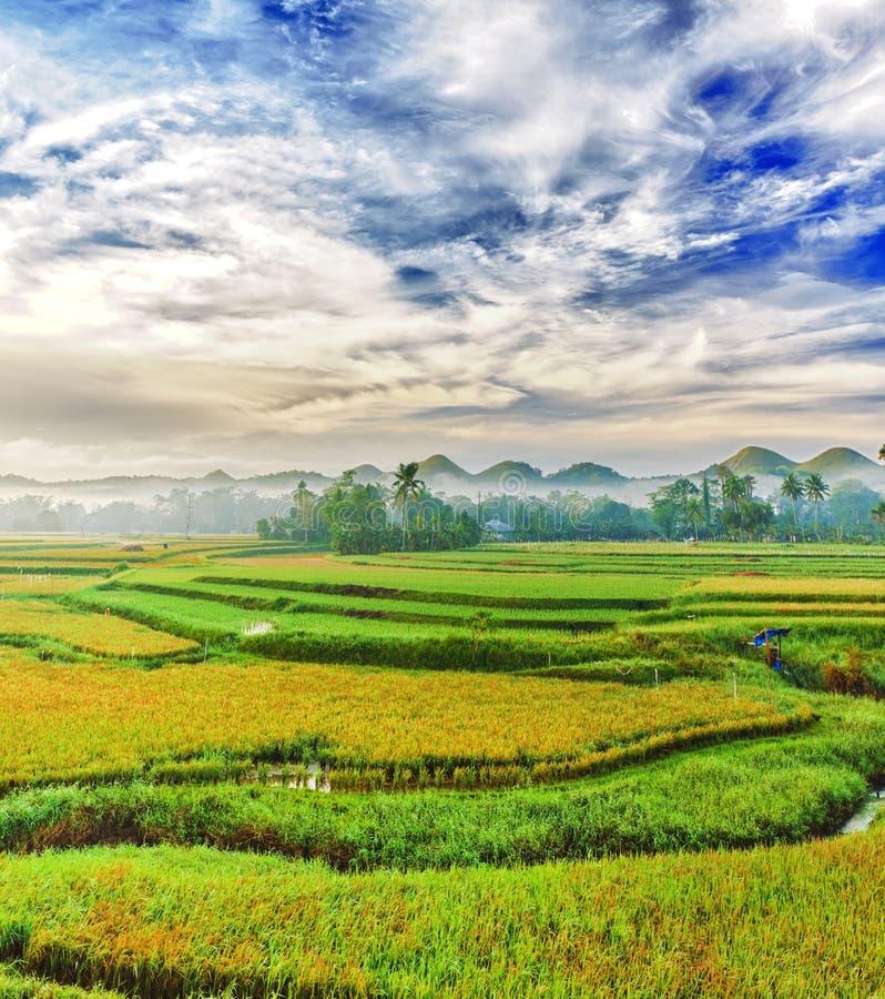 Paddy rice panorama royalty free stock photos