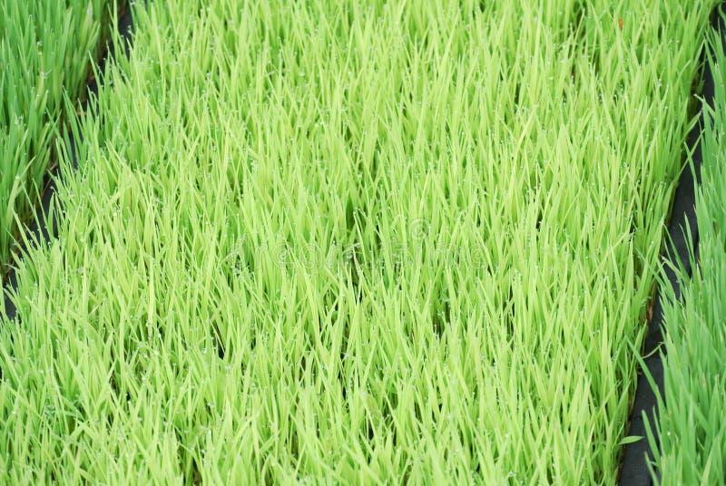 Paddy Seedlings dans la crèche photo stock