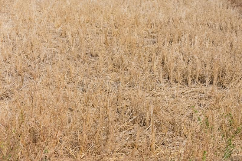 Indian paddy straw at close view looking awesome in a indian paddy farming field. royalty free stock image