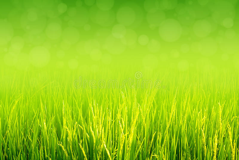 Paddy vert luxuriant dans le domaine de riz photographie stock