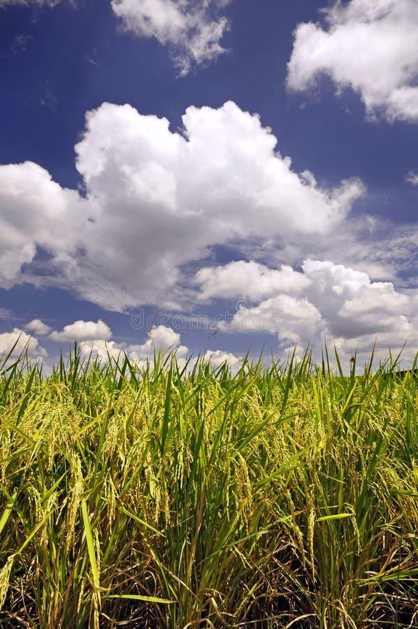 Paddyanlagen lizenzfreies stockfoto