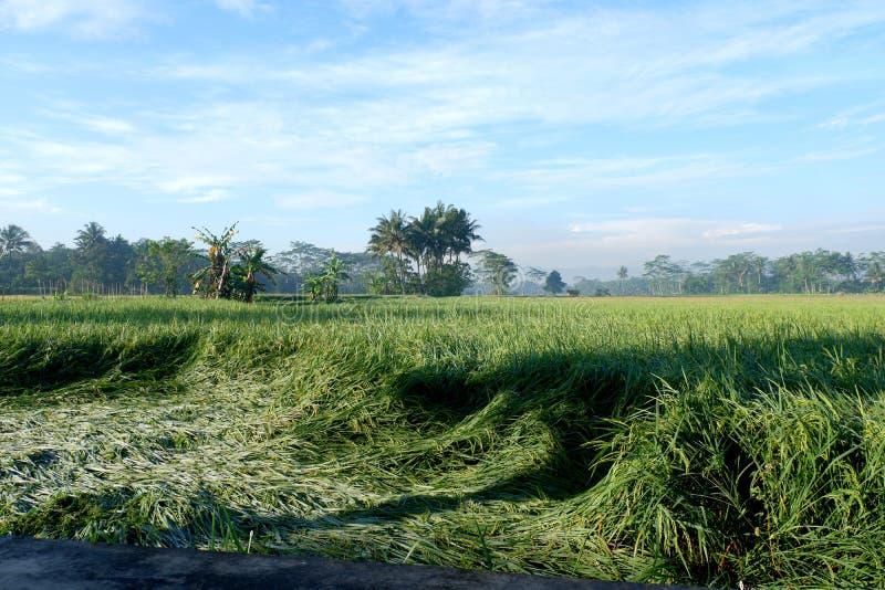 Paddyanlagen mit Gebirgshintergrund auf Landschaft lizenzfreies stockbild