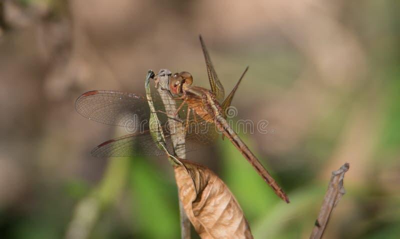 Paddyfield遮阳伞蜻蜓 库存照片