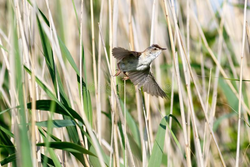 Paddyfield鸣鸟尖头畸型agricola 库存照片