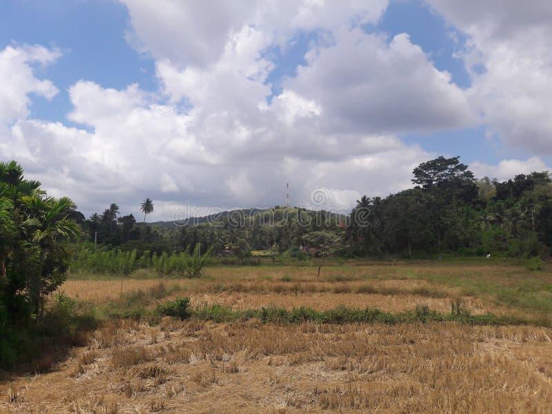 Paddyfield с красивым небом стоковое фото rf