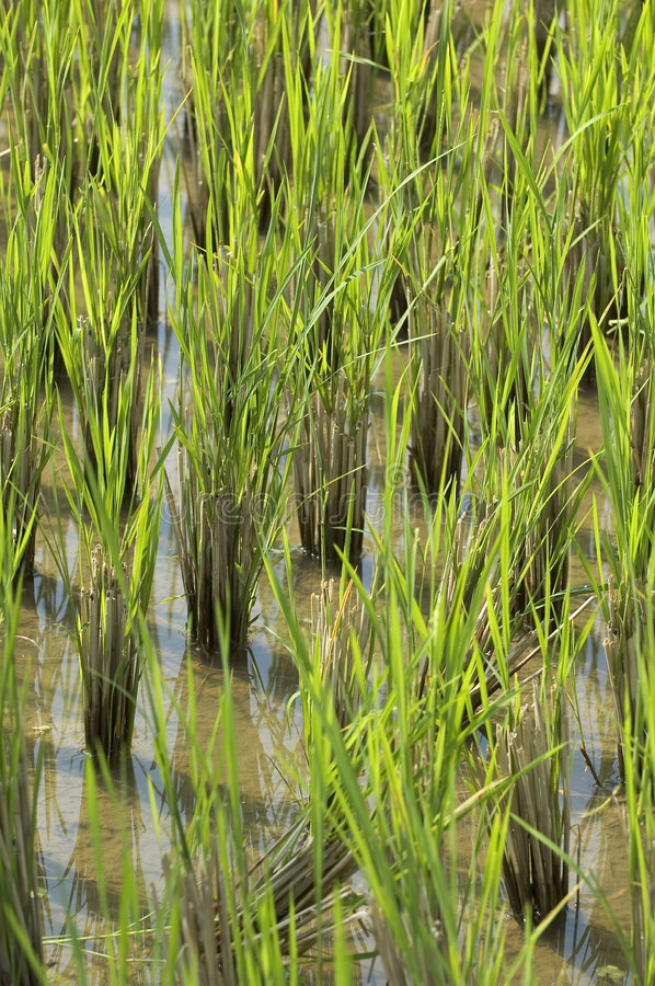 Download Paddyfield Royalty Free Stock Photography - Image: 73187
