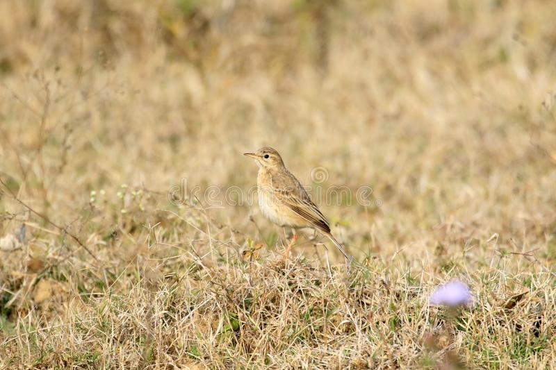 Paddyfield pipit royalty-vrije stock afbeelding