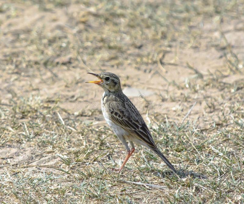 Paddyfield pipit stock fotografie