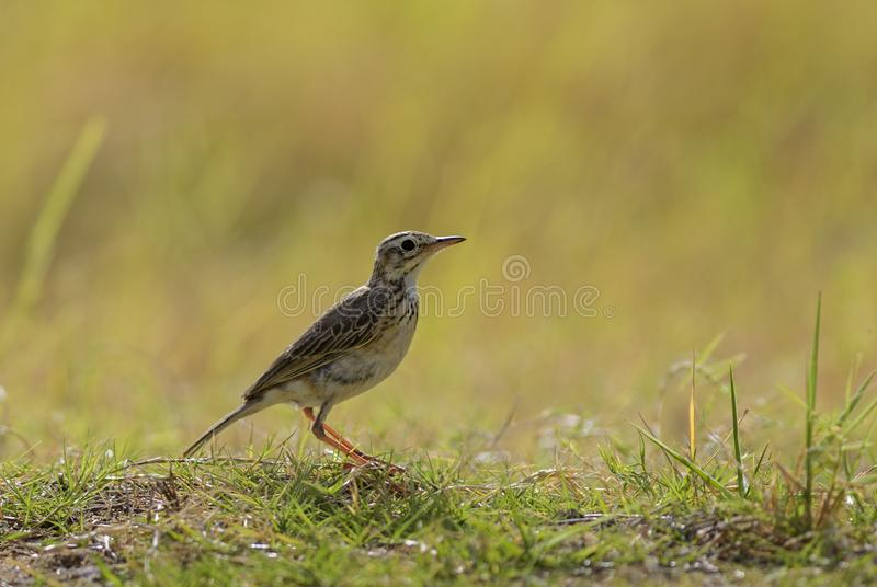 Paddyfield Pipit - Anthus rufulus stock photo