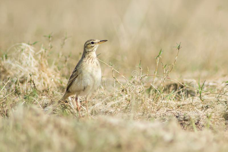 Paddyfield pipit or Oriental pipit royalty free stock images