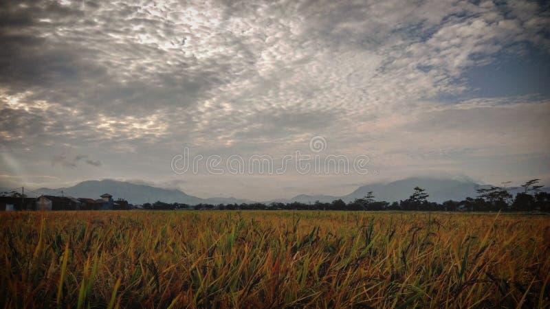 paddyfield som är klar att skörda arkivfoton